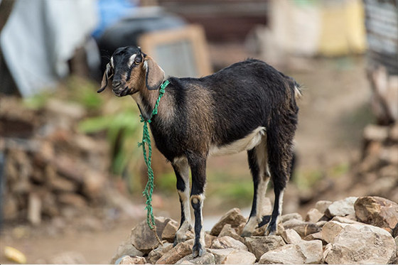 Goats provide both joy and income to Christmas gifts recipients.