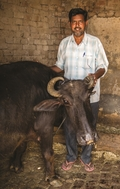 Through GFA-supported gift distributions, many people have been blessed with water buffalo, which provide milk, labour and income.