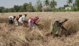 Women spend hours of back-breaking labor in the hot sun to harvest wheat in the Aurangabad Maharashtra Region.