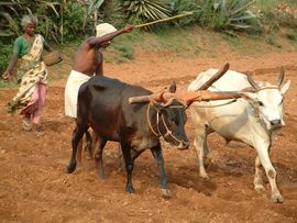 More than 40 percent of Kerala's people are engaged in farming, and much of it is done in this traditional way.