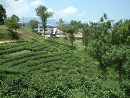 The rich soils and ample rainfall of the Central Kerala Region are ideal for growing tea.