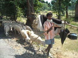 Sheep can graze on the forest undergrowth in the Central Ranchi Region, producing both wool and meat for their owners.