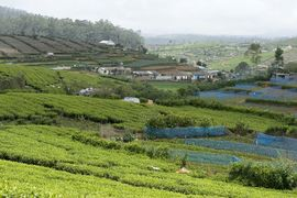 Tea plantations are a major source of revenue for the people of Sri Lanka.