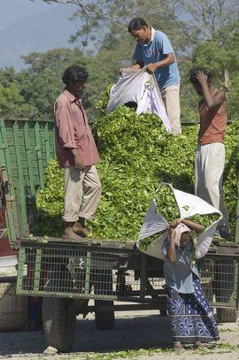 Many people in the Darjeeling Region earn a living by working on tea plantations.