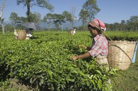 Tea plantations employ many people in the East Jalpaiguri Region.