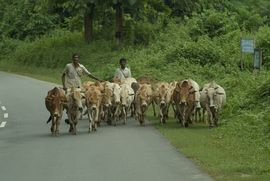 The lush vegetation of the Golghat Assam Region makes it an ideal place to raise livestock.