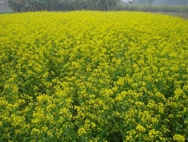 Mustard is one of the crops grown in the Gorakhpur Region.