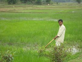 Whether the crop is tea or rice, it is cultivated and harvested by thousands of women and men like this one in his rice paddy.