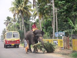 Elephants are an unusual addition to the transportation system in Kerala.