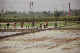 In addition to the wheat that makes it part of India's breadbasket, the North Punjab Region also produces rice, being planted here by these Punjabi workers.