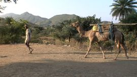 Camels are still used in North Rajasthan for transporting heavy loads.