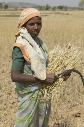 This village woman will spend hours of backbreaking labor in the hot Indian sun to bring in the wheat harvest. With no tools or animals to help, the people do all of their farming by hand.