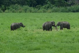 Elephants in the field seem like an exotic curiosity to westerners, but to villagers in Assam, they can bring costly damage to crops.