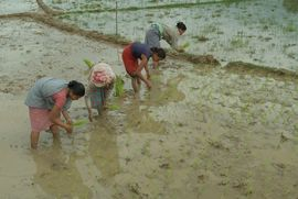 Planting rice is very labor intensive, as each stalk must be placed in the right location so it can grow in the flooded field.