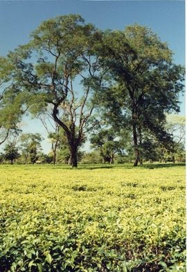 Tea is a major source of income in the Siliguri Jaigaon Region.