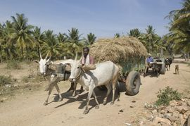 In spite of the IT boom, many of South Karnataka's people still make their living from old-fashioned agriculture.