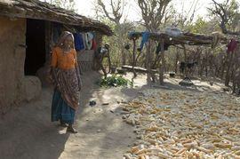 Many people in South Rajasthan raise corn as a cash crop.