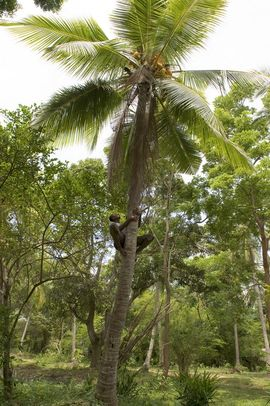Coconut trees thrive in Sri Lanka. Coconut water is a refreshing drink, and the meat is used fresh or dried in cooking.