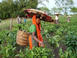 The majority of families in the Tinsukia Region earn their income from the tea plantations.