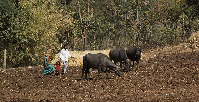 Water Buffalo Provides Security for Family