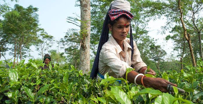 woman working on tea plantation