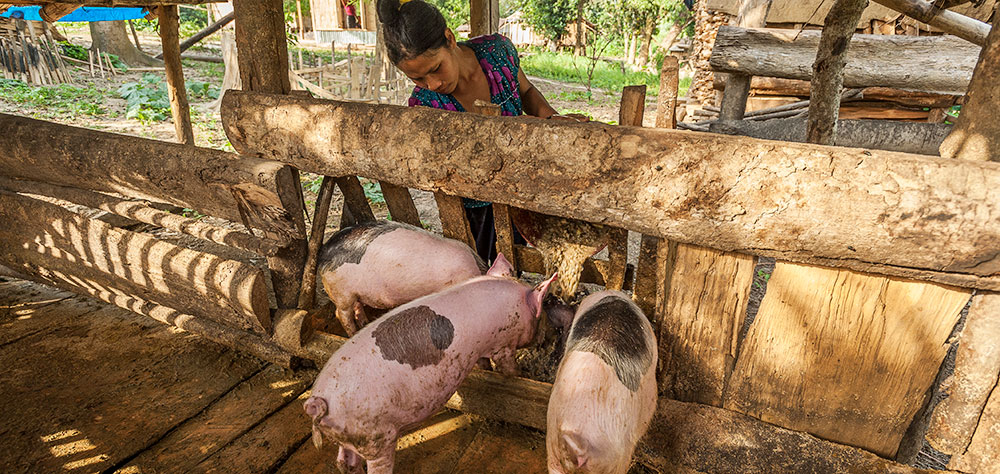 Mahavir and Malli worked hard to take good care of their pigs; which grew big and strong as the result of two things: cooked pumpkin and a lot of prayer.